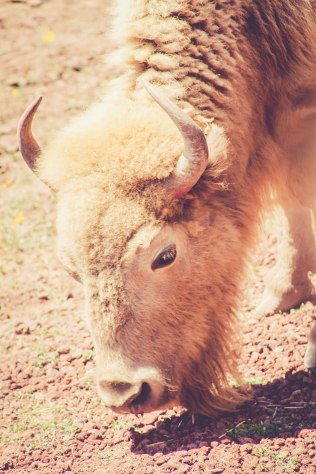 Bearizona White Buffalo